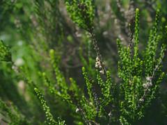 Macro world (anna.letoile) Tags: plants closeup green plant flower nature sakhalin olympus olympusomdem10markii olympusmzuiko1442 bokeh bokehlicious greenbokeh flickraward