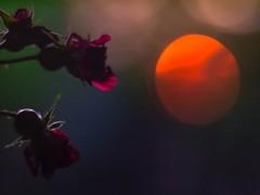 tête-à-tête (cнαт-ɴoιr^^) Tags: 201807181310220 vintagelens flora blume flower fleur fiori kletterrose sonne sonnenuntergang sunset sun