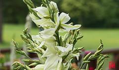 Le Yucca est originaire du sud-est des États-Unis (mamnic47 - Over 9 millions views.Thks!) Tags: bagatelle jardinsdebagatelle parcdebagatelle sigma150600mm 6c8a6956 fleurdeyucca yucca yuccafilamentosa
