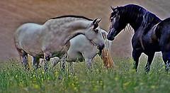 "Spanische Kartäuser Pferde ""Spanish Carthusian horses, effecte, 76384/10384 (roba66-on vacation) Tags: tier tiere animal animals creature fauna roba66 landschaft landscape paisaje nature natur naturalezza pferd horse cheval chevaux caballo trabalho tv movie effecte"