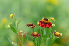 Glorious Helenium (hehaden) Tags: flower helenium red garden sussexprairies sussexprairiegarden henfield sussex summer sel55f18z