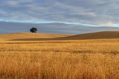 Light on One Tree Hill (jactoll) Tags: warwickshire onetreehill landscape summer lonetree sony a7iii 70200mmf4 jactoll