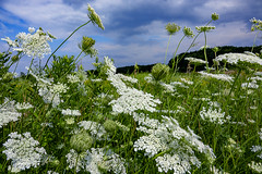 meadow in the summer (mariola aga) Tags: summer meadow grass plants flowers sky clouds nature wildflowers coth alittlebeauty coth5 thegalaxy