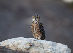 Great horned owl fledgling starts his hunting night (charlescpan) Tags: