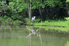 Great Blue Heron & a Turtle_0945 (Porch Dog) Tags: 2018 garywhittington nikond750 nikkor200500mm wildlife nature outdoors lbl landbetweenthelakes betweentherivers june turtle greatblueheron bird feathers water woods kentucky