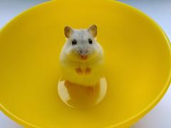 Margarita in yellow bowl (Dragan*) Tags: margarita hamster animal pet white portrait eyes bowl yellow indoor