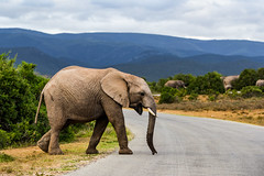 South_Arica_2018_20 (s4rgon) Tags: addoelephantnationalpark addoelephantpark animals elefant elephant gardenroute natur nature southafrica sã¼dafrika tiere ngc