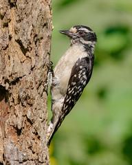 Downey Woodpecker female (Lynn Tweedie) Tags: wood bokeh beak tail bark canon ngc animal female 7dmarkii feathers bird downeywoodpecker green eye eos tree missouri