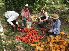 Harvesting Cacao at PermaTree, Ecuador (yago1.com) Tags: cacao ecuador permatree cocoa volunteer