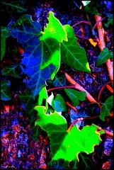 Sainte Jamme sur Sarthe (Sarthe) (gondardphilippe) Tags: saintejammesursarthe sarthe maine paysdelaloire lierre couleurs colors nature bleu blue campagne extérieur outdoor macro vert green rose quiet rural texture ruralité zen