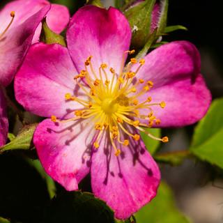 365.186 - Little rose