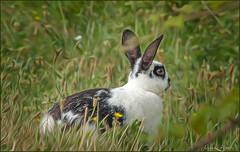 6 luglio 2018 (adrianaaprati) Tags: caffarella coniglio rabbit park grass