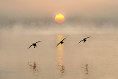 Dawn Landing (adrians_art) Tags: flight canadageese riverthames uk england birds silhouettes shadows sunrise dawn sky clouds weather foggy misty reflections