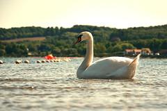 On the Sea (simson60) Tags: swan schwan meer dänemark urlaub wasser vogel