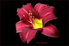 lys rouge (Une femme ...) Tags: flower rouge red lys lily inblack fondnoir