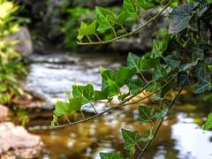 Brookside Vine (clarkcg photography) Tags: landscape brook vine bokeh alongthewater stream landscapesaturday saturdaylandscape 7dwf