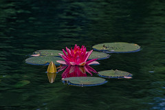 RBG Lotus (KWPashuk) Tags: nikon d7200 tamron tamron18400mm lightroom luminar luminar2018 kwpashuk kevinpashuk lotus waterlily water pond garden royalbotanicalgardens flower reflection nature outdoors burlington ontario canada