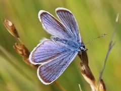 Bläuling (Hugo von Schreck) Tags: hugovonschreck schmetterling butterfly macro makro insect insekt canoneos5dsr greatphotographers tamron28300mmf3563divcpzda010 buzznbugz