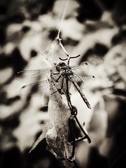 Wings (J.C. Moyer) Tags: leaf leaves spidersilk art rustic nature garden plants twig macro lumix panasonicdmcgx80 wings fauna flora floraandfauna blackandwhite insect dragonfly