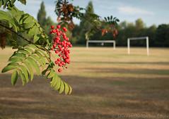 Morley common 01 jul 18 (Shaun the grime lover) Tags: fruit summer tree warrington walton morley common cheshire rowan berries morning goalposts goal