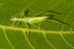 Immature Tree cricket (Fred Roe) Tags: nikond810 nikonafsmicronikkor105mmf28 nature wildlife insect cricket treecricket macro peacevalleypark