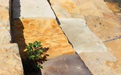 Port Jackson Fig (Ficus rubiginosa) at Port Jackson (Poytr) Tags: ficus ficusrubiginosa moraceae portjacksonfig rustyfig hawkesburysandstone barangaroo arfp nswrfp qrfp tree sandstone portjackson sydney sydneyaustralia stranglerfig fig