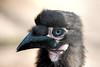 Zuidelijke Hoornraaf Jong_08 (Nick Dijkstra) Tags: artis bromvogel groundhornbill kafferhoornraaf zuidelijkehoornraaf jong