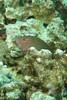 arc-eye hawkfish - light phase (BarryFackler) Tags: hawkfish paracirrhitesarcatus pilikoa arceyehawkfish fish benthic reeffish parcatus vertebrate barryfackler barronfackler bigisland biology bay being bigislanddiving nature marine marinelife marinebiology marineecosystem marineecology hawaii hawaiiisland hawaiicounty honaunau honaunaubay hawaiidiving hawaiianislands scuba sea southkona seacreature sealife sandwichislands seawater saltwater diving ddiver dive undersea underwater kona konacoast konadiving polynesia pacificocean pacific 2018 organism ocean outdoor tropical reef ecology ecosystem water westhawaii aquatic animal fauna life zoology coral creature coralreef