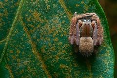 Huntsman Spider (Sparassidae), Singapore (singaporebugtracker) Tags: singaporebugtracker spider hunstmanspider origami sparassidae green leaf foliage hairy rectangle 折り紙 giantcrabspider macro longleggedspider woodspider
