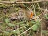 Sunbathing Robin HWW (Wildlife Terry (Behind)) Tags: wildfowl waterbirds smallbirds grebes geese tits robins