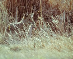 On the lookout (droy0521) Tags: colorado outdoors wildlife coyote mammal animal wetland