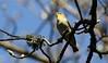 Wood Warbler (Phylloscopus sibilatrix) (R.Miller1979) Tags: phylloscopus sibilatrix wood warbler bird birds nature wildlife fauna spring wyming brook naturereserve sheffield south yorkshire uk