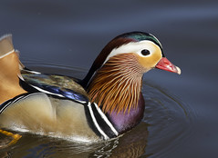 Mandarin Duck (Mike Serigrapher) Tags: etherow park compstall cheshire mandarin duck aix galericulata