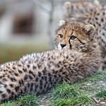 Cheetah cub looking back thumbnail