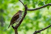 Wood Thrush (Maggggie) Tags: bird woodthrush peachtreecitygeorgia branch brown spotted