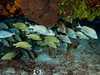 French Grunt School (R. Donald Winship Photography) Tags: aquaticlife cozumel divingunderwater frenchgrunt yacubreef