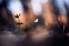 Waldsauerklee (Markus1224) Tags: makro macro waldsauerklee schwäbische alb badenwürttemberg germany flower sunset nikon d750 tamron frühling spring deutschland bokeh oxalis