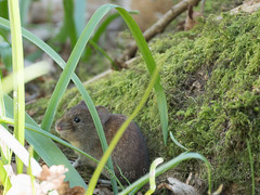 April in the Loder Valley (Nanooki ʕ•́ᴥ•̀ʔっ) Tags: ©suelambertlrpscpagb balcombe england unitedkingdom gb midsussexdistrict lodervalleynaturereserve animal bankvole nature wildlife vole