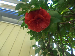 DSC03238 (classroomcamera) Tags: school outside outdoor outdoors plant plants tree trees flower flowers rose roses leaf leaves leafy red green yellow line lines wall walls above below up down angle angles closeup