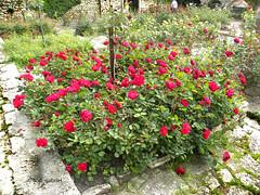 Roses in Balchik botanical garden (cod_gabriel) Tags: balcic balchik dobrogea dobruja dobrudja roses trandafiri garden grădină botanicalgarden balchikbotanicalgarden bulgaria