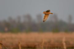short-eared-owl at sunset (eric-d at gmx.net) Tags: sumpfohreule shortearedowl asioflammeus eric wildlife sunset