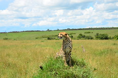 Гепард, Acinonyx jubatus, Cheetah (Oleg Nomad) Tags: африка кения сафари животные млекопитающие копытные саванна africa kenya safari mammals travel animals savanna гепард acinonyxjubatus cheetah