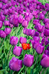 Always try to stand out! (http://www.paradoxdesign.nl) Tags: stand out tulip flower spring purple red plant floral flora beautifal metaphor polder zeewolde almere netherlands flevoland