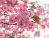 Pink blossom (V Photography and Art) Tags: blossom cherry pink spring flowers tree closeup nature petals bokeh