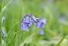 Bluebells (Sara@Shotley) Tags: bluebell macro canon grass flower nature wildflower plant field blue bells