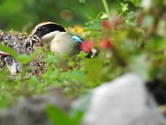 Fairy Pitta (八色鳥) (Guan_ting) Tags: 八色鳥 八色鶇 草叢 覓食 特寫 bird fairy pitta nature wildlife portrait