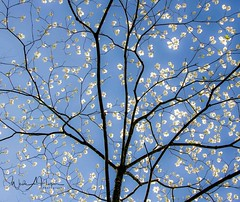 Dogwood Spring (Wade Hooper Photos) Tags: landscapephotography landscapes trees dogwood spring sky leaves blossom bloom branches limbs wadehooperphotography