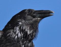 Common Raven, Corvus corax (Dave Beaudette) Tags: birds corvuscorax commonraven reidpark tucson pimacounty arizona
