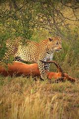 Recién CaZado - Parque Nacional Kruger (BarbaraCiminari) Tags: sudáfrica sudafrica kruger nationalpark natu nature naturaleza animals animales animal leopardo leopard hunting hunt