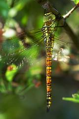 DSC01234 - Immature Southern Migrant Hawker (steve R J) Tags: female southern migrant hawker west canvey marshes rspb reserve essex odonata british dragonfly